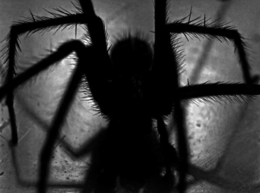 Spider hunt showdown, Spider Hunt, Part 3 of 3 parts