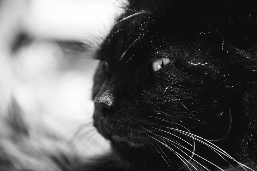 Black cat horrors, The Black Cat, Captivated Chat